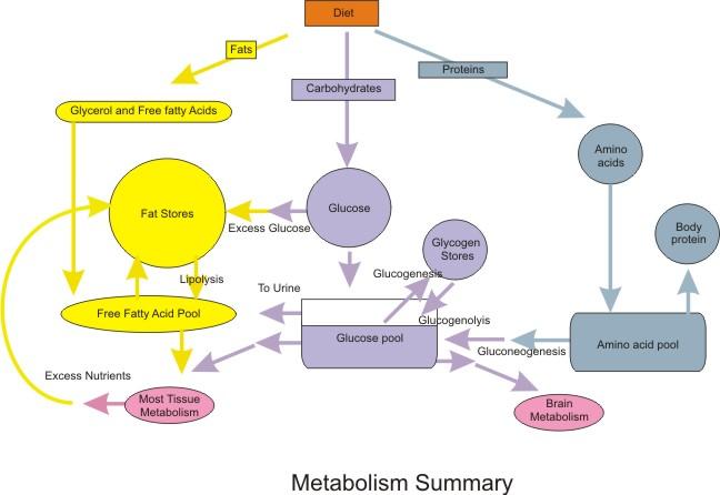 Metabolism Summary_CC 3.0 Boumphfreyfr